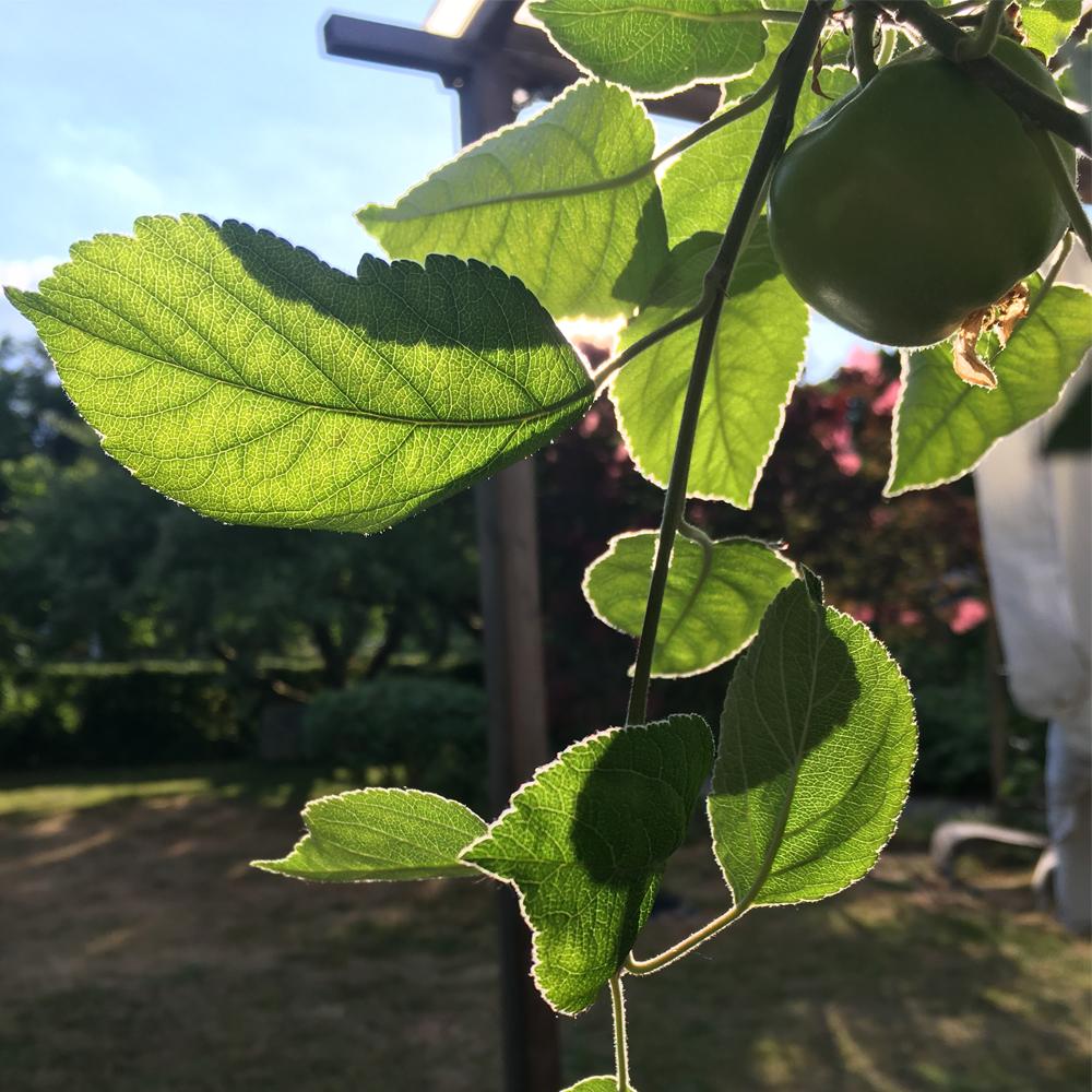 fotografi solstråler igenom äppelträdets blader