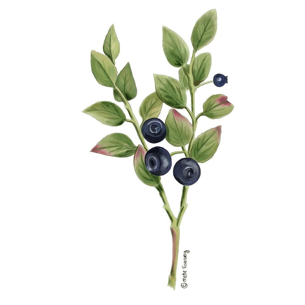 illustration av blåbär ris Ipad apple pencil pracreate