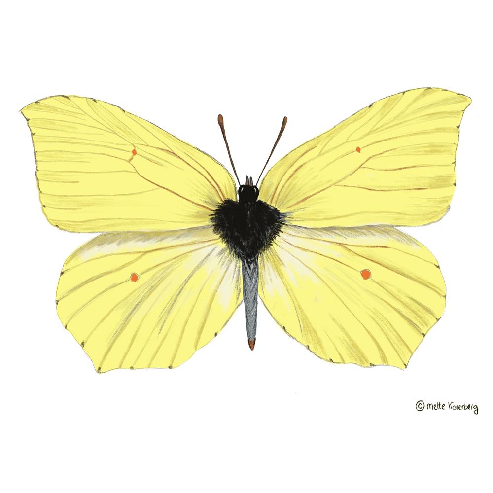 illustration av en citron fjäril Ipad apple pencil pracreate